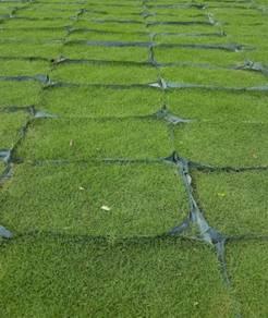Bekal dan tanam rumput carpet