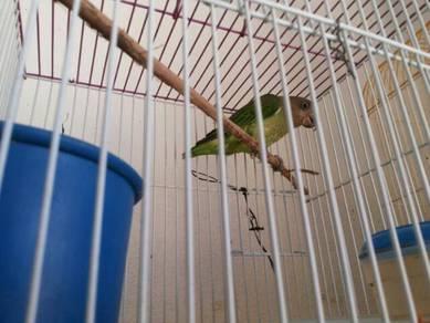 Burung puling dan pipit gunung