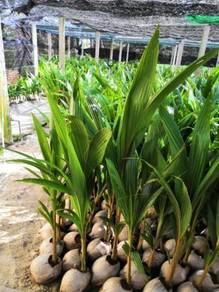 Benih kelapa pandan kpg/sgg tulen