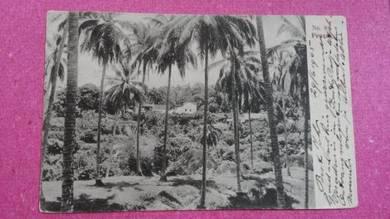 Postcard Penang Coconut PC 199 RARE