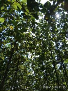 A pokok jati forestry plantation project