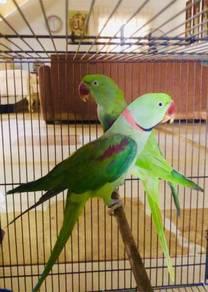 Burung Induk Pair Alexandrine Parakeet Parrot Bird
