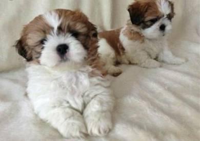 Shin tzu puppy