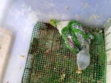 Burung parrot alexander india