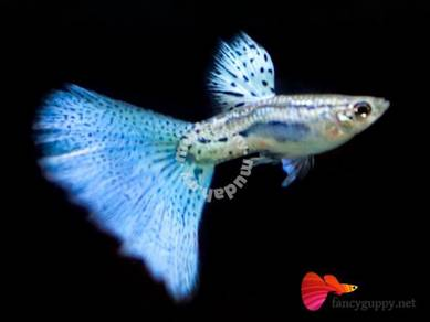 Blue Grass Guppy Fish Grade A