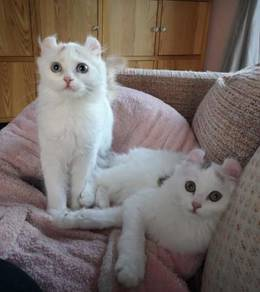 Curl Kittens for Sale