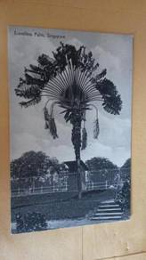 HARGA RUNTUH Antik Postcard Travelers Palm No 4