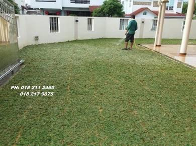 Tanam Rumput Pokok pearl grass Tiruan Jepan