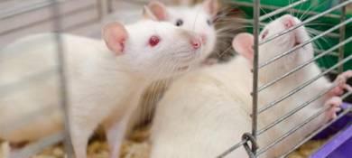 Rat breeder rats