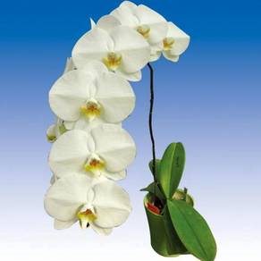 500 pots V3 big white Phalaenopsis for sale