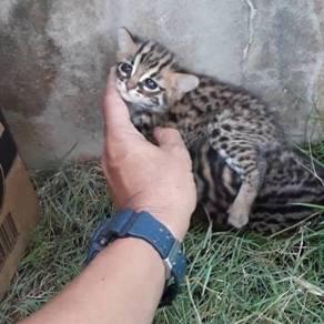 Kucing bengal kitten
