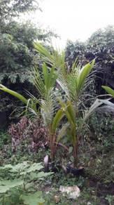 Anak pokok kelapa matag f2 dlm polybag