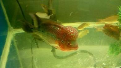 Ikan/Fish Flower Horn