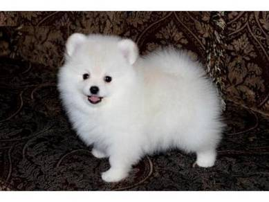 Amazing Pomeranian Puppies