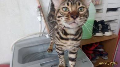 Pure breed bengal male 1y old
