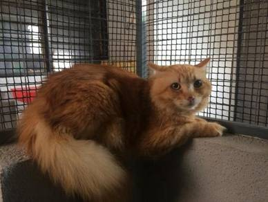 Mix maine coon & persian semi flat face for sale