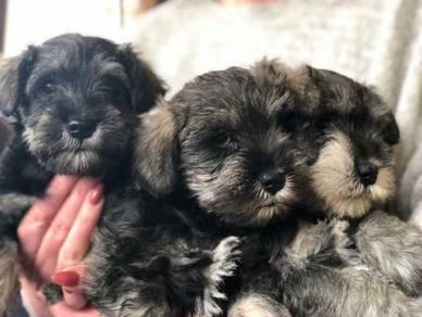 Quality miniature schnauzer pups for sale