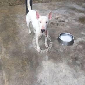 Male Bull Terrier Dog