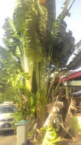 Pokok Kipas