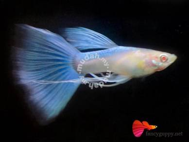 Albino Sky Blue Ribbon Guppy Fish Grade A