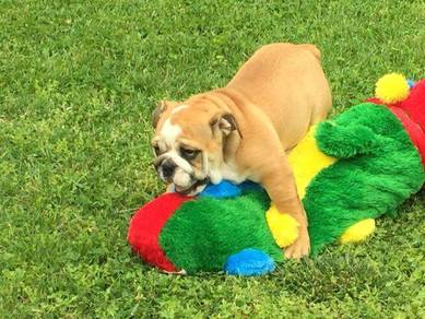 Purebred english bulldog mka