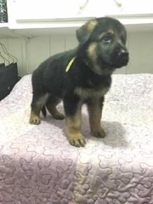 German shepherd pups mka