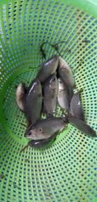Pembekal anak benih ikan air tawar