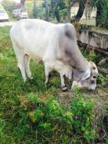 Lembu jantan brahman untuk dijual