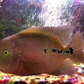 Kamfa flowerhond fish