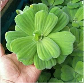 Plant for Betta Fish/Pokok untuk Ikan Laga