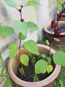Bunga rozelle merah yg berkhasiat