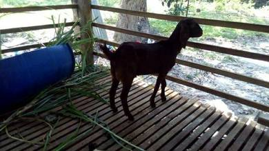 Biri dan kambing akikah