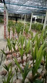 Benih kelapa sggori & biji kelapa tua sgg