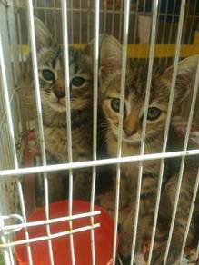 Kucing sepasang.yg comel