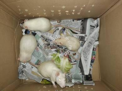 Tikus makmal putrajaya