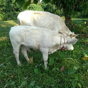 Lembu charolais dua branak