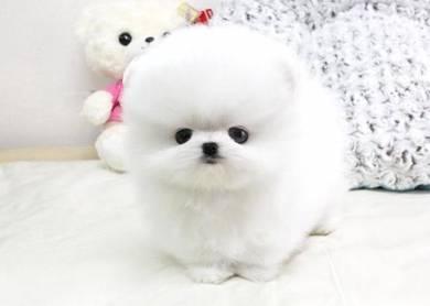 Tini Mini White Pomss