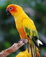 Burung sun parrot