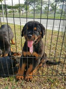 Rottwiller Puppies for Sale