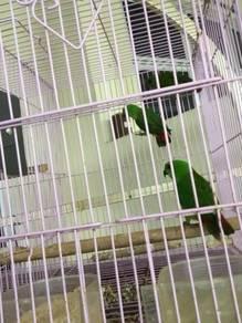 Burung: Serindit