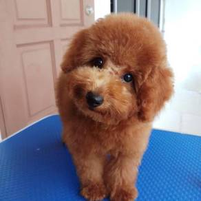 Poodle for sale