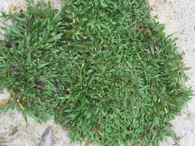 Supply cow grass- rumput