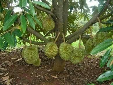 Bibit durian cantuman