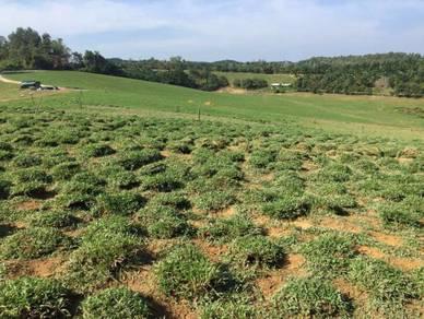 Supply cow grass rumput
