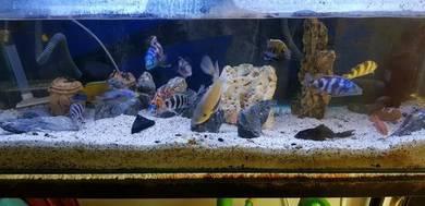 Akuarium dan ikan cichlid
