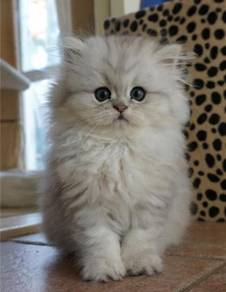 Mencari anak kucing baka bajet