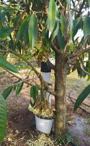 Pokok durian mothong