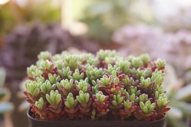 Succulent plant Portulaca gilliesii