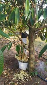 Pokok durian mothong jenis rendah