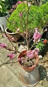 Pokok bunga sakura